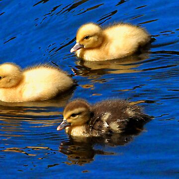 ducklings in Azores by dcrrld