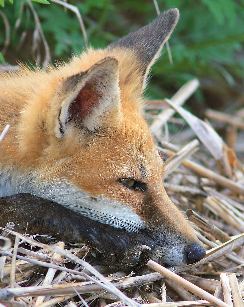 Fox days of summer! by Ron  Charest