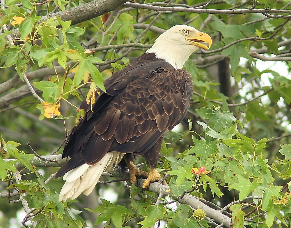 Eagle. by Ron  Charest
