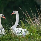 Swans by Clayton Bruster