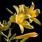 Yellow Daylilies by PhotosByHealy