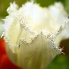 Ruffled Frilled Parrot Tulip by imaginethis