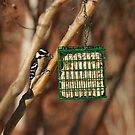 Hairy Woodpecker by blew12bandit