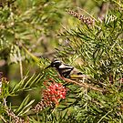 New Holland Honeyeater by SusanAdey