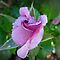 Avatar/Rosebud opening - Enchanted Flowers*