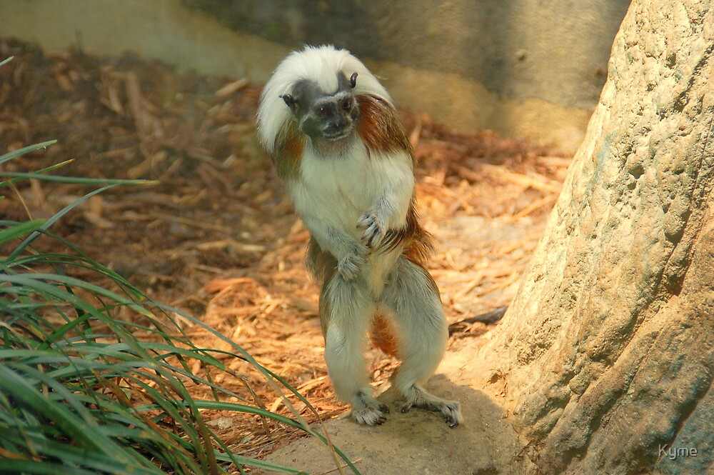 Cotton Top Tamarin  by Kyme