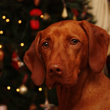 Sharing Christmas with a Vizsla by TraceyPacitti