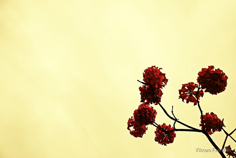 Blossoms by Vikram Franklin