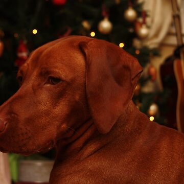 Hungarian Vizsla at Christmas by TraceyPacitti