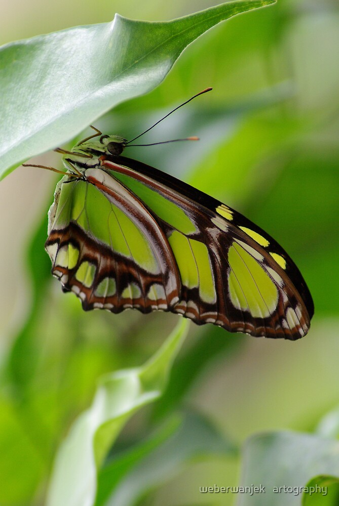 Green Butterfly by weberwanjek   artography
