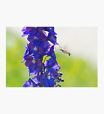Hummingbird Hawk-moth Hovering Photographic Print