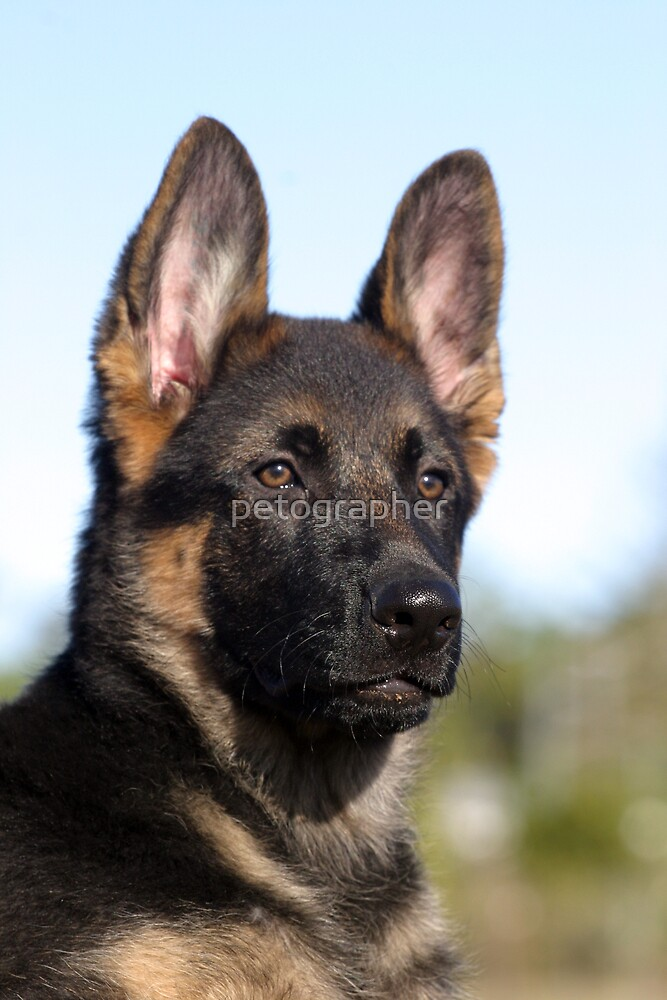 German Shephard Puppy by petographer