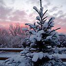Colorado Blue Spruce by Pamela Hubbard