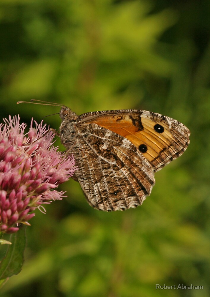 Grayling Butterfly by Robert Abraham