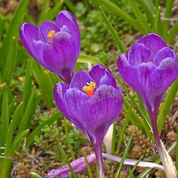 3 Purple Crocus Flowers by joyfuldesigns55