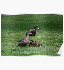 Mother & Father Duck w/ babies Poster