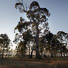 Eucalypts in morning mist, Moora, Victoria by Merrilyn Serong