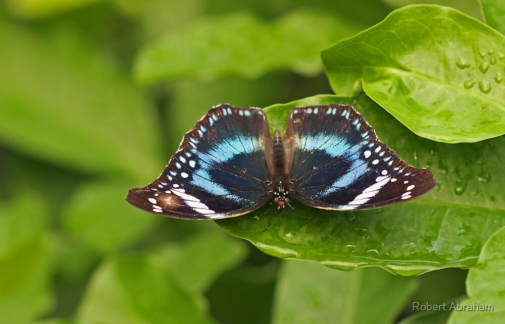 Hypolimnas Butterfly Species by Robert Abraham