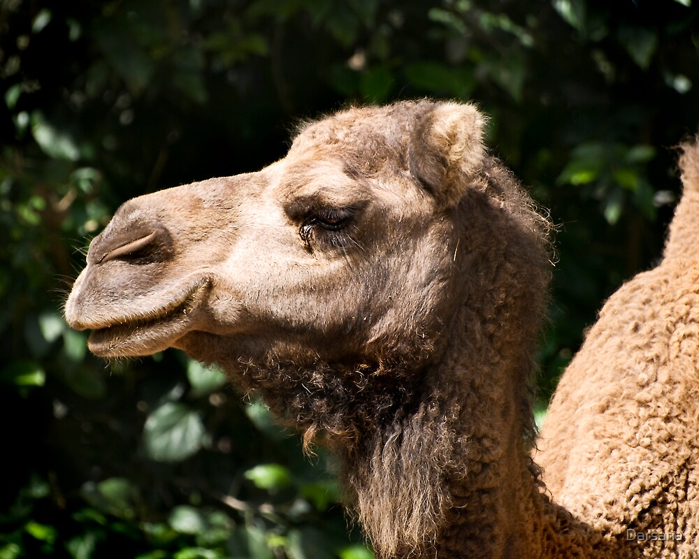 Arabian Camel - side portrait by Tony Steinberg