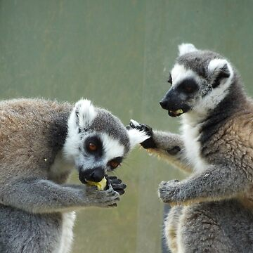 Ring Tailed Lemurs at Lunch by martina