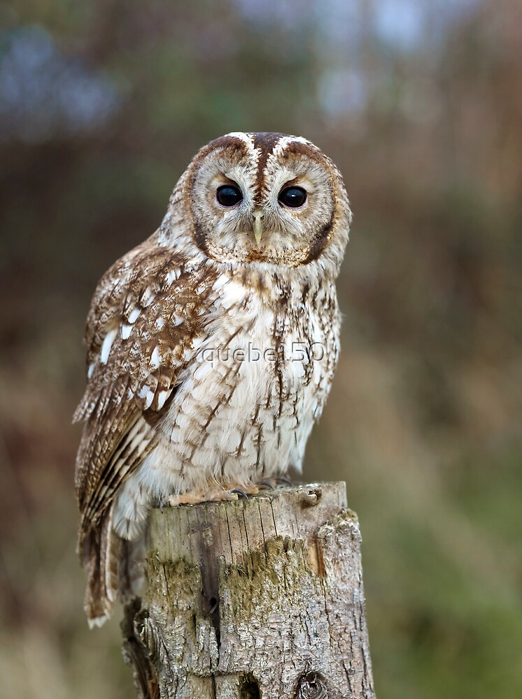 Tawny Owl (captive)  by quebe150
