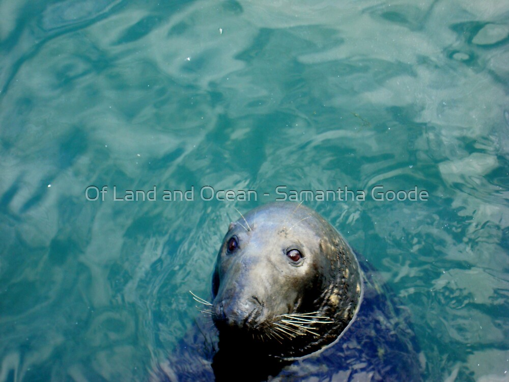 Wild Seal  by Of Land & Ocean - Samantha Goode