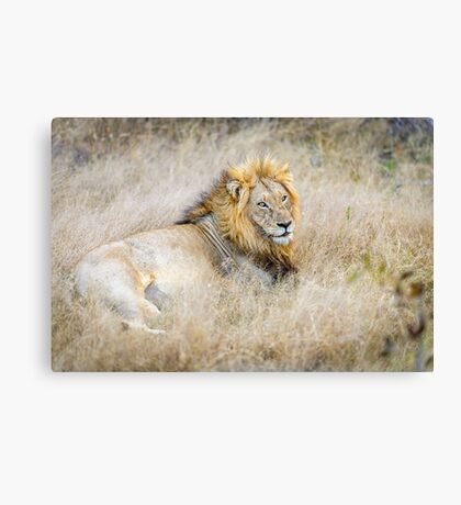 Lion, King of the Jungle Canvas Print