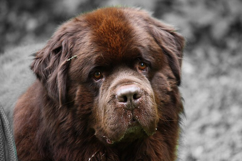 Quot Newfoundland Dog Quot By Meganboundy Redbubble