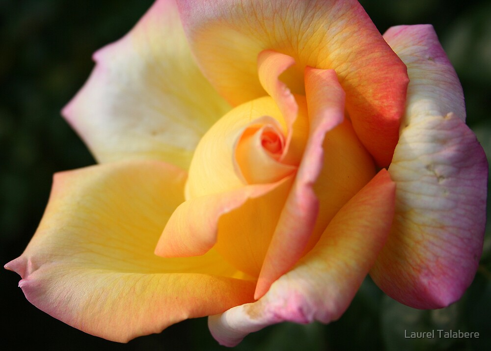Unfurling Yellow-pink Rosebud by Laurel Talabere