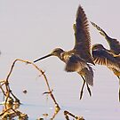 Dowitchers by Marvin Collins