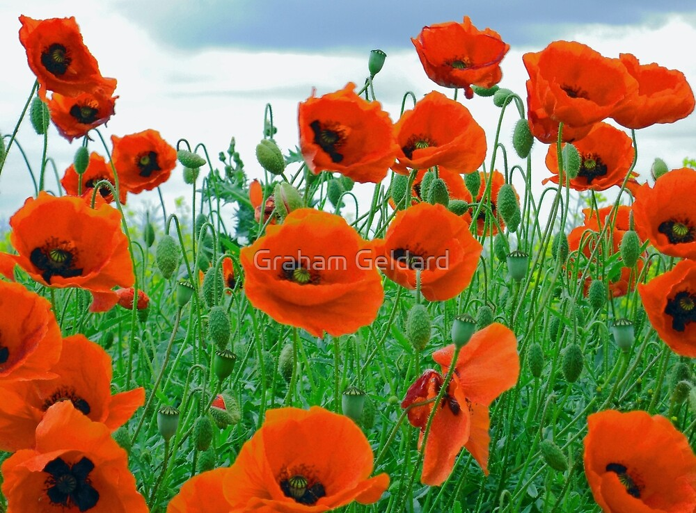 It's Poppy Season #2 by Graham Geldard