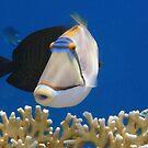 Red Sea Picassofish by hurmerinta