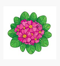 Pink Primula or Primrose flower. Photographic Print