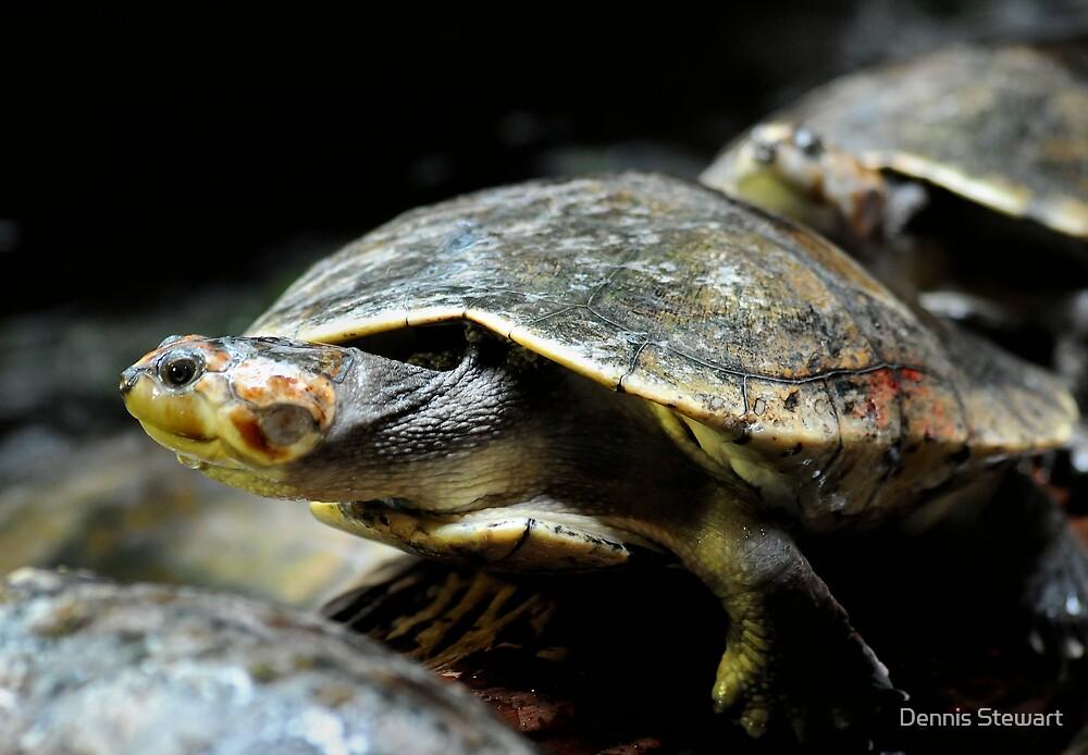Turtle Backup by Dennis Stewart