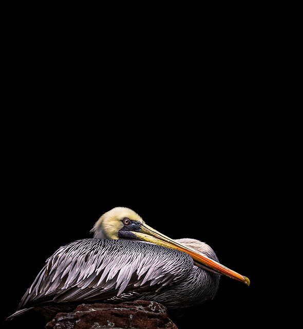 Evelyn the pelican by alan shapiro