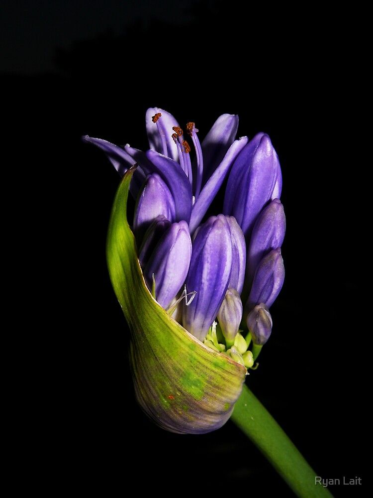 Purple by Ryan Lait