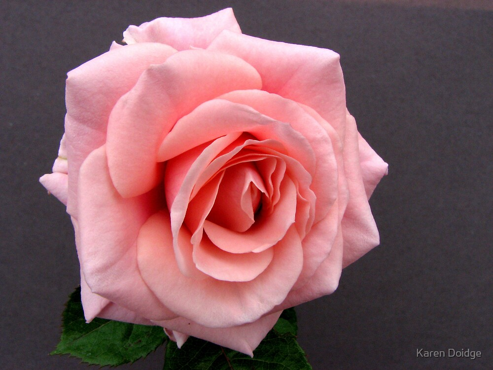 Apricot Rose on grey background by Karen Doidge
