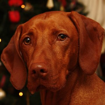 Christmas Vizsla by the tree by TraceyPacitti