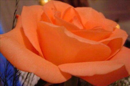 A Peach Rose by e  owen