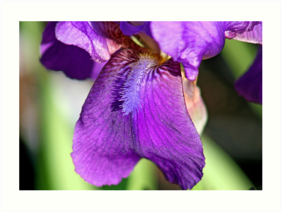 Purple Iris by Vickie Emms