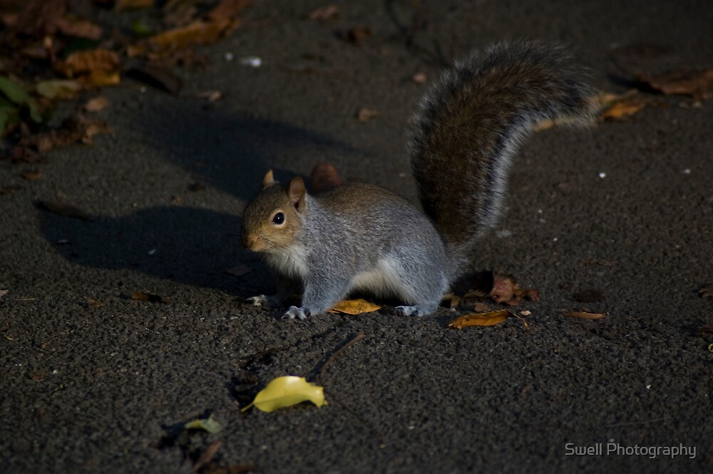 Park Squirrel by Swell Photography