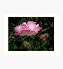 Pink and white rose with raindrops Art Print
