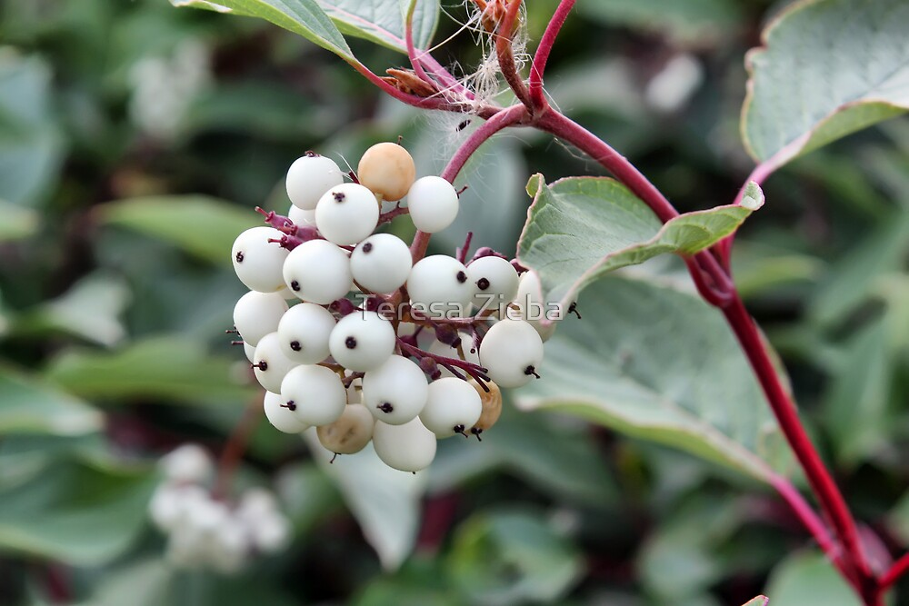 White Unknown Berries by Teresa Zieba