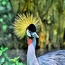 West African Grey Crowned Crane by Sonja Dover