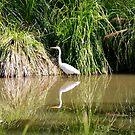 Eastern Great Egret by Robyn Williams