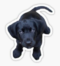 Black lab puppy Sticker