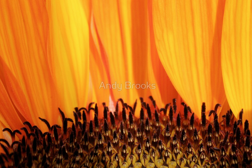 Sunflower closeup by Andy Brooks
