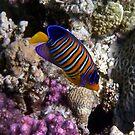 Red Sea Royal Angelfish by hurmerinta