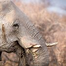 Elephant with damaged tusks by Chris de Blank