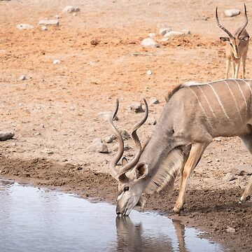 Large Kudu Drinking at Waterhole by Frogvision